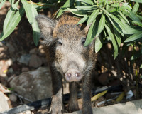 WildBoar FreeStock