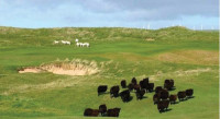 Munt-Sheep on links.jpg