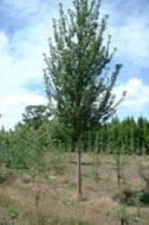 6 Prunus albertii 2.JPG