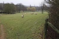 ParksTrust Sheep