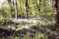 DruidsHeath Bluebells