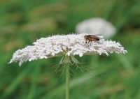 Bee look alike hover fly   TOP 2045 mr
