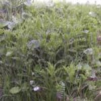 spear-thistle-habitat.jpg
