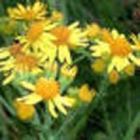 ragwort-flower1.jpg