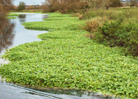 FloatingPennywort.jpg