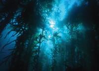 UnderwaterKelpBeds.jpg