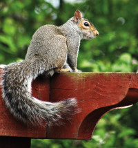 GreySquirrel4 RGBStock