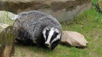 Badger2 Pixabay