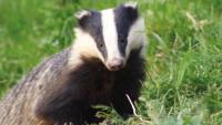 Badger BBC