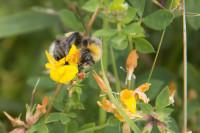 Bumblebee on trefoil 11