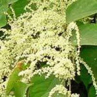 japanese-knotweed-flower-.jpg