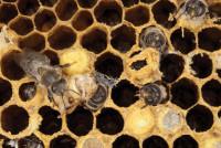 HoneyBeeWithMiteDamage
