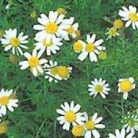 mayweed-clump.jpg