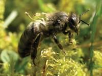 HoneyBeeWithMiteDamagae