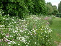 Native wildflowers sown in a natural open space