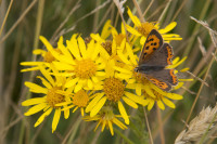 Butterfly on Ragwort 2