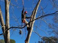 Tree surgeon removing dangerous limbs
