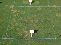 STRI trial showing conventional potassium nitrate based fertiliser used withwetting agent.jpg