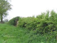 hedge100_0089.jpg