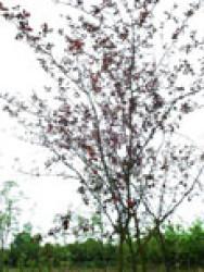 13 Prunus Trailblazer-1.JPG