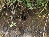 WaterVole Nest
