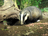 Badger-BBC.jpg