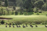 Portal Geese
