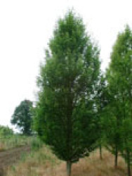 3 Carpinus bet Fastigiata-1.JPG