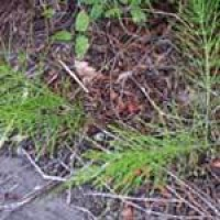 horsetail-seedling.jpg
