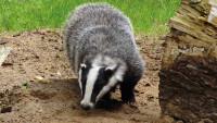 Badger Pixabay