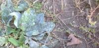 Weeds under stress mildew in plantain, knotgrass