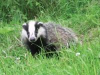 Badgers2.jpg