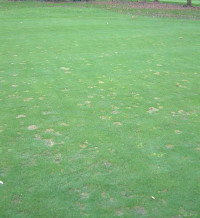 Autumn Fusarium damage.jpg