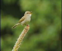 GreenishWarbler
