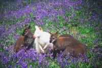 wildlifewallabiesinbluebells2004rl.jpg