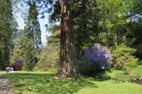 Bodnant Sequoias