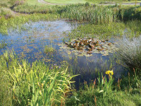 Wildlife pond containing many dragonfly & damselfly species and home to the rare great crested newt