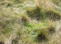 Coarse Grasses are the target for Rescue in fine Fescue rough