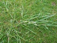 Ryegrass in Fescue