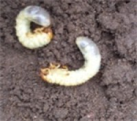 pest of the day chafer grubs two.jpg