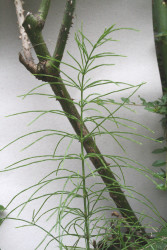 Horsetail---Field-Eqiisetum.jpg