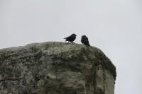 Stonehenge Jackdaws
