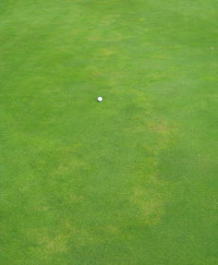 5.  Anthracnose foliar blight following line of fairy ring
