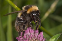 Bombus ruderatus mr