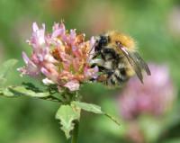 Bee on clover .jpg