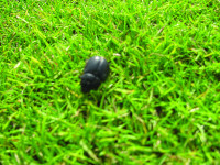 Chafer beetle.jpg
