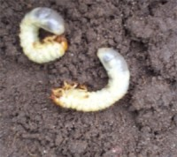 pest of the day chafer grubs.jpg