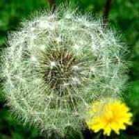 DandelionSeedhead.jpg