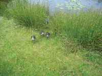 NorthHants CootFamily