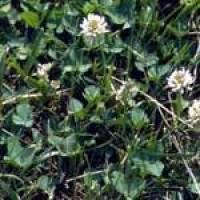 clover-clump.jpg